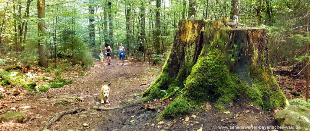 Wanderung Nationalpark Bayerischer Wald Urwald Wanderweg