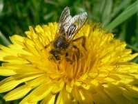 naturbilder und tiere blumen biene honigb im fruehling